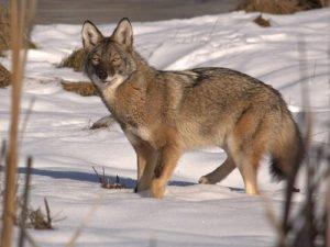 Maine coyote 2