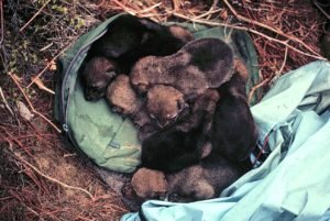 Coyote pups ~ research photo of Dr. Dan Harrison