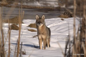 Maine Coyote by Rich Bard