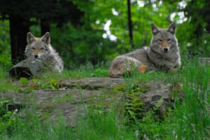 Coyote Mates photo by Jacques Tournel