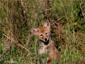 Coyote Matters photo Jan Myers