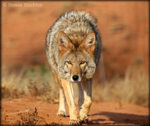 Coyote by Shreve Stockton